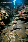 Coral Reef: Large-capped Boulder Coral (Montastrea cavernosa), lower right