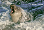 Elephant Seal in surf