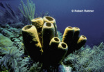 Agelus Sponge