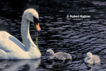 Swan (with food) and cygnets