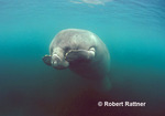 West Indian (Florida) Manatee