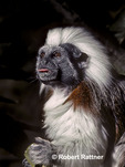 Cotton-top Tamarin (in captivity)