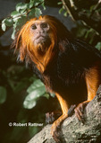 Golden-headed Lion Tamarin (in captivity)