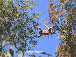 Woolly Spider Monkey (Muriqui) swinging between trees in rain forest canopy