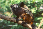 Saddleback Tamarin (in captivity-zoo)