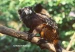 Saddleback Tamarin (in captivity-zoo)