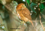 Owl in the Atlantic Rainforest