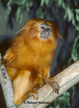 Golden Lion Tamarin (in captivity-zoo)