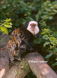 Geoffroy's or White-faced Marmoset (in captivity-zoo)