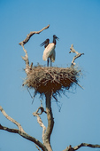 Jabiru Storks on nest