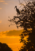 Wood Stork at sunset