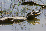 Yacare caiman basking