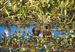 Capybara in water among water hyacinths