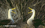 Waved Albatross - courtship display