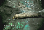 Galapagos Fur Seal diving after surfacing to breathe