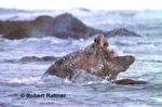 Bull Northern Elephant Seals battle in surf for breeding dominance