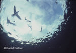 Sea birds from underwater