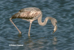 Juvenile Greater Flamingo feeding