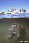 Manatee in warm water effluent of Riviera Beach Power Plant in the Intracoastal Highway