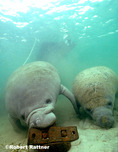 Manatee with calf mouthing boat anchor
