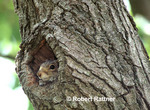 Juvenile Eastern Gray Squirrel at nest cavity opening
