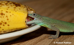 Jamaican Turquoise Anole (male) eating a banana
