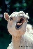 Dromedary camel (in zoo)