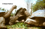 Galapagos Giant Tortoises (captive)at Charles Darwin Research Station