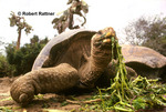 Galapagos Giant Tortoise (captive) at the Charles Darwin Research Station