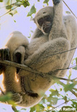 Woolly Spider Monkey (Muriqui) in rain forest canopy