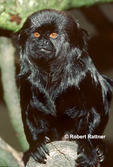 Goeldi's Monkey (in captivity-zoo)