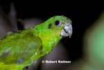Black-billed Parrot (in captivity - zoo)
