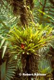 Guzmania Bromeliad in El Yunque