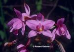 David's Orchid (Spathoglottis plicata)