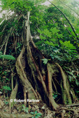 Tree with Buttress Roots in Edmund Forest-Quilesse, St Lucia
