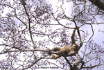 Woolly Spider Monkey (Muriqui) resting in tree