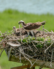 Osprey with chicks on nest