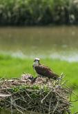 Osprey on nest with chicks