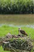 Osprey on nest with chick