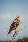 Savanna Hawk in the Pantanal