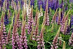 Lupine fields in spring, Flanders Bay, Sullivan, Hancock County, ME