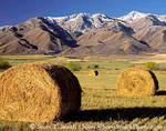 CACHE VALLEY, UTAH, USA. Alfalfa field & round bales below Wellsville Mountains in autumn. Great Basin.