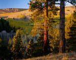 UTAH. USA. Ponderosa pines & aspen in autumn. East slope of Boulder Mountain at sunrise. Dixie National Forest.