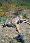 "BRIDGER-TETON NATIONAL FOREST, WYOMING. USA. Coyote that died in trap set by US Government agency ""Wildlife Services"" trapper. Ridge above Lake Alice. Bridger-Teton National Forest."