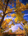 UTAH. USA. Gunnison Butte framed by cottonwood trees & squawbush in autumn. Green River flood plain.