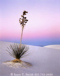 WHITE SANDS NATIONAL MONUMENT, NEW MEXICO. USA. Soaptree yucca on gypsum dunes at dusk. Heart of the Dunes.