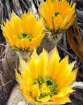 BIG BEND NATIONAL PARK, TEXAS. USA. Rainbow cactus in bloom. Chihuahuan Desert.