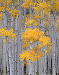 """UTAH. USA. Aspen grove (Populus tremuloides) in autumn on Fish Lake Plateau near Fish Lake. Fishlake National Forest. Part of """"Pando"""" or """"The Trembling Giant"""" aspen grove, reputed to be the heaviest known organism and to have been in exsitence for 80,000 years."""