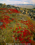 ARCTIC NATIONAL WILDLIFE REFUGE, ALASKA. USA. Scarlet foliage of bearberry on tundra in autumn. Mount Chamberlin & Romanozov Mountains in distance. North Slope.