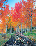 BOULDER MOUNTAIN, UTAH. USA. Red aspen grove. Boulder Mountain in autumn.Dixie National Forest.